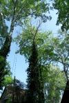 Sziksósi nyárfa